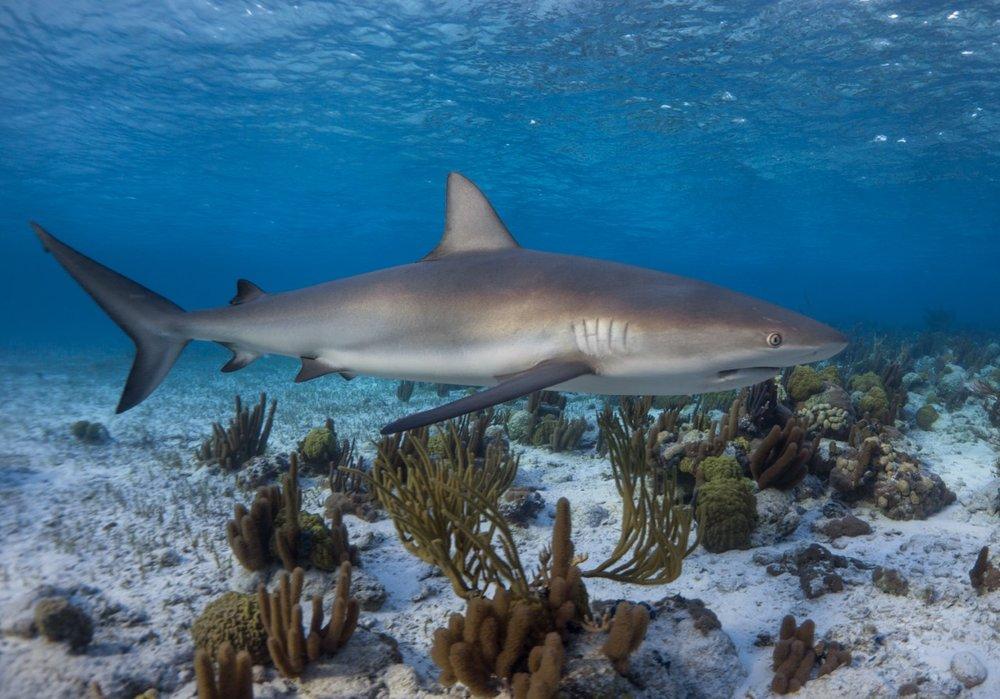 thumbnail_Day 1 - Big Wood Cay Shallow Reef Shark.jpg