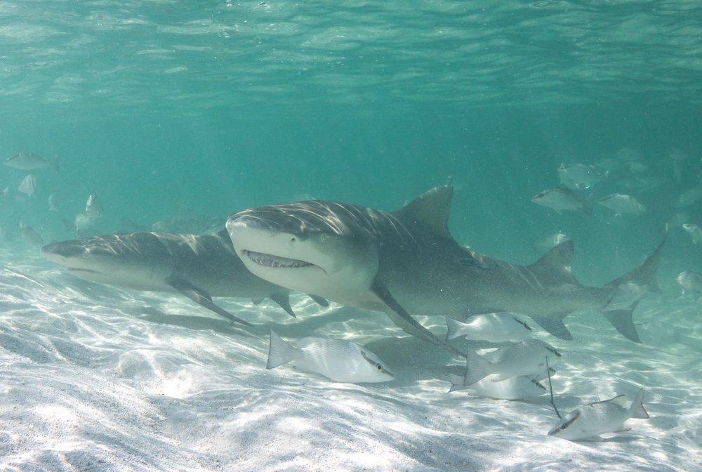 thumbnail_Day 3 - Lemon Shark Pair.jpg