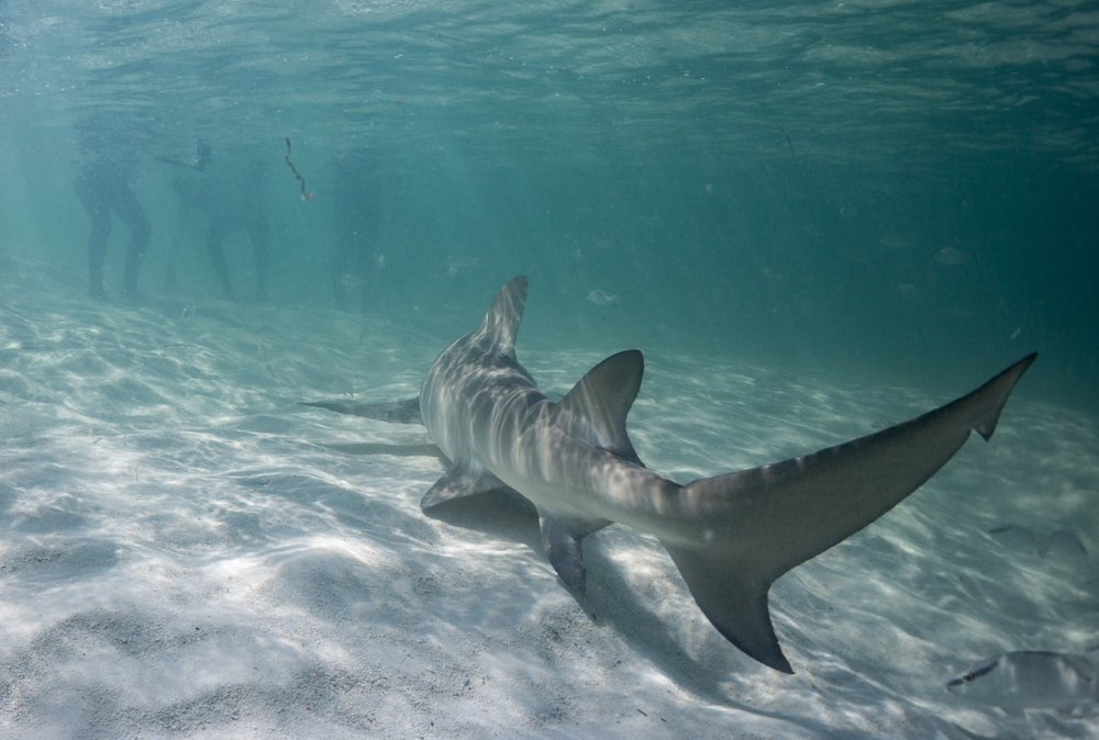 thumbnail_Day 3 - Lemon Shark Tail.jpg