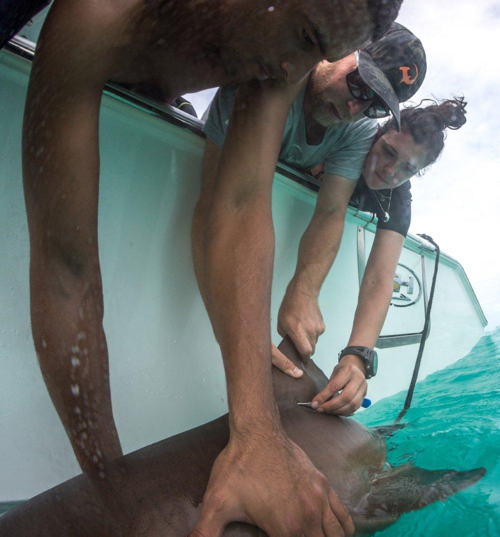 Guest Jennifer inserts a PIT tag into a nurse shark
