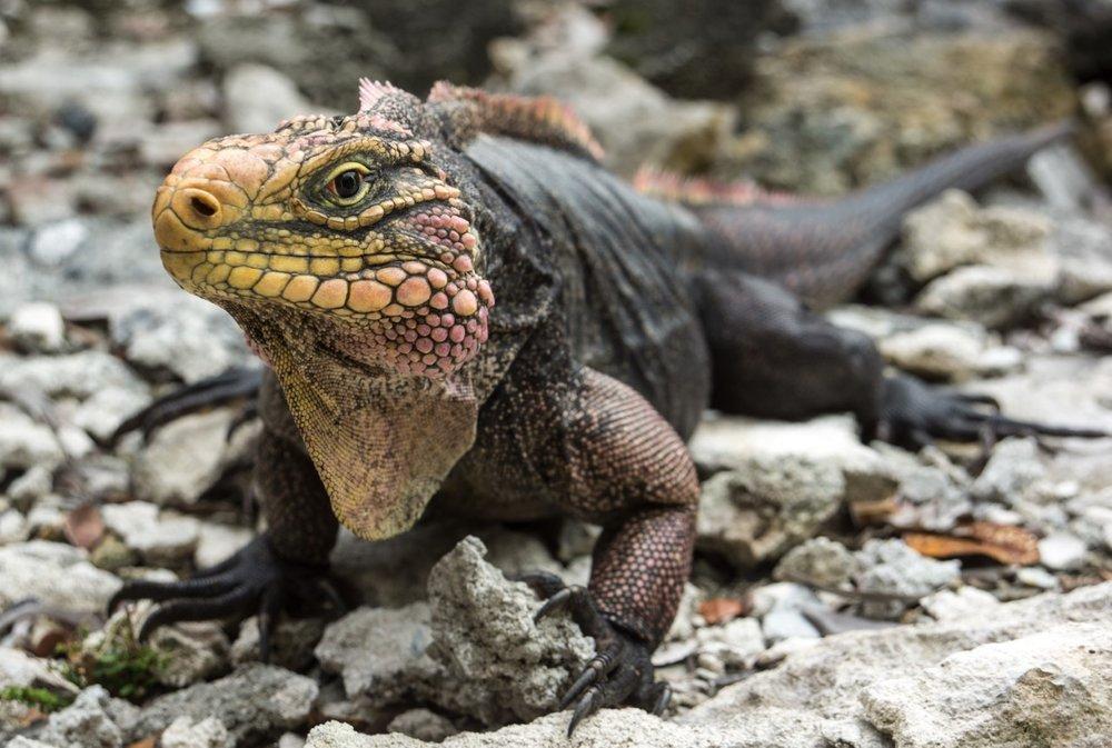 thumbnail_Day 6 - Broad Shad Cay Rock Iguana.jpg