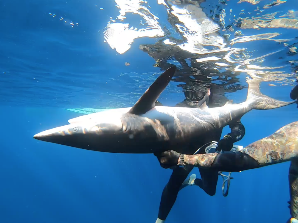 Expedition leader Dr. Tristan Guttridge performs an in water ultrasound on a silky shark