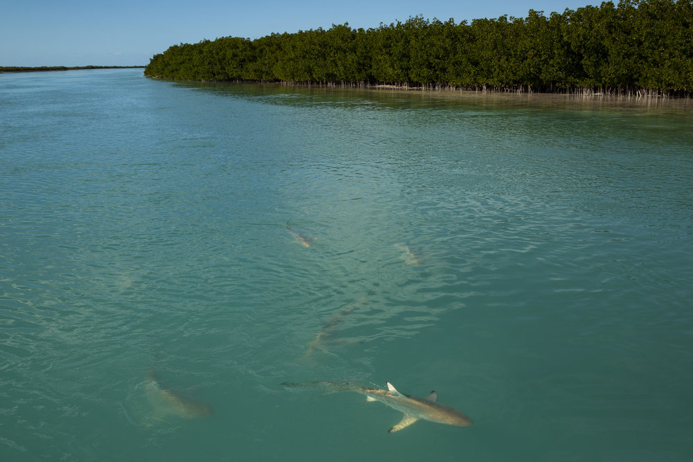 Eleven blacktips, and two sharp nose sharks just a few feet from the boat