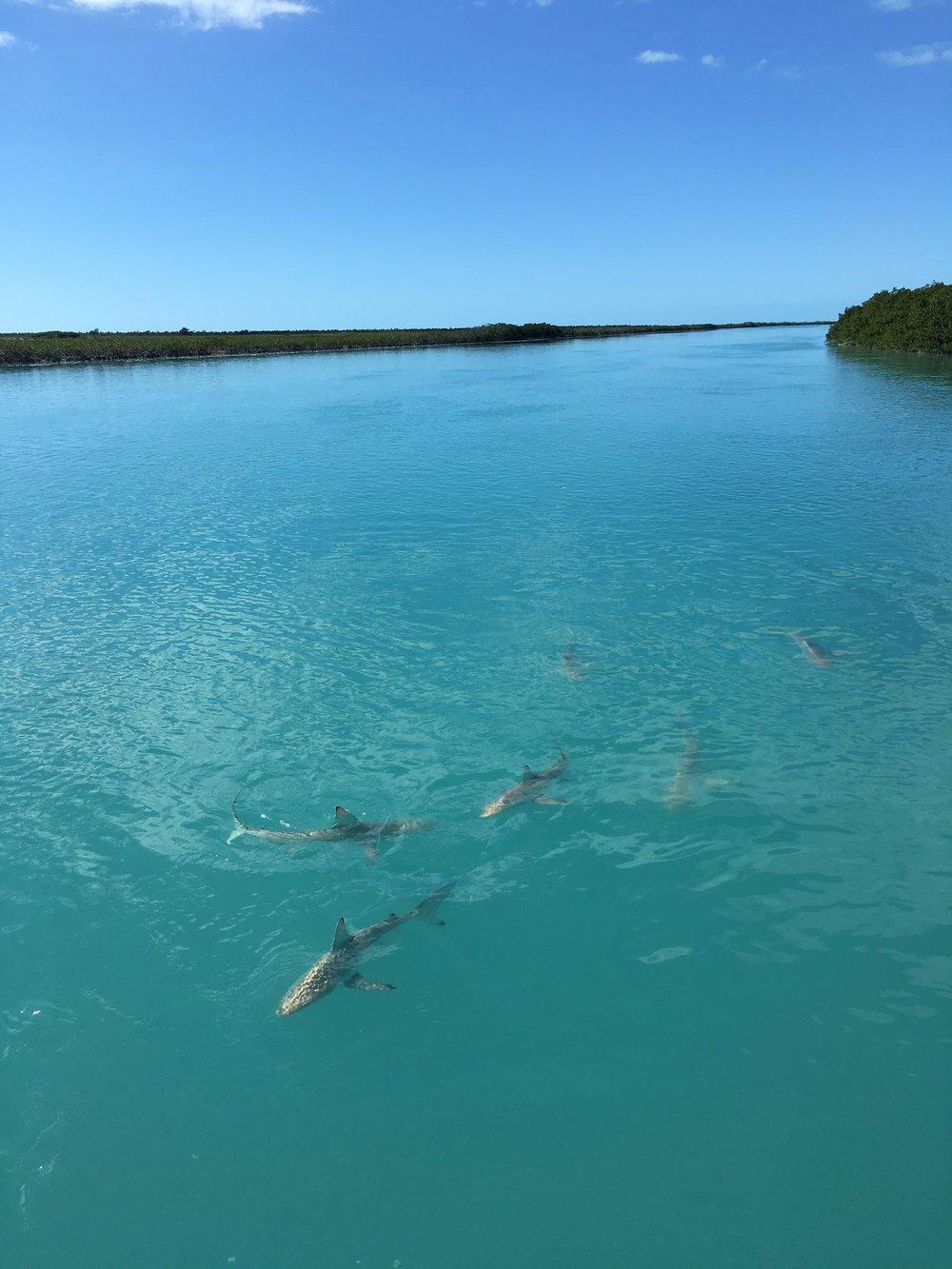Sharks everywhere!