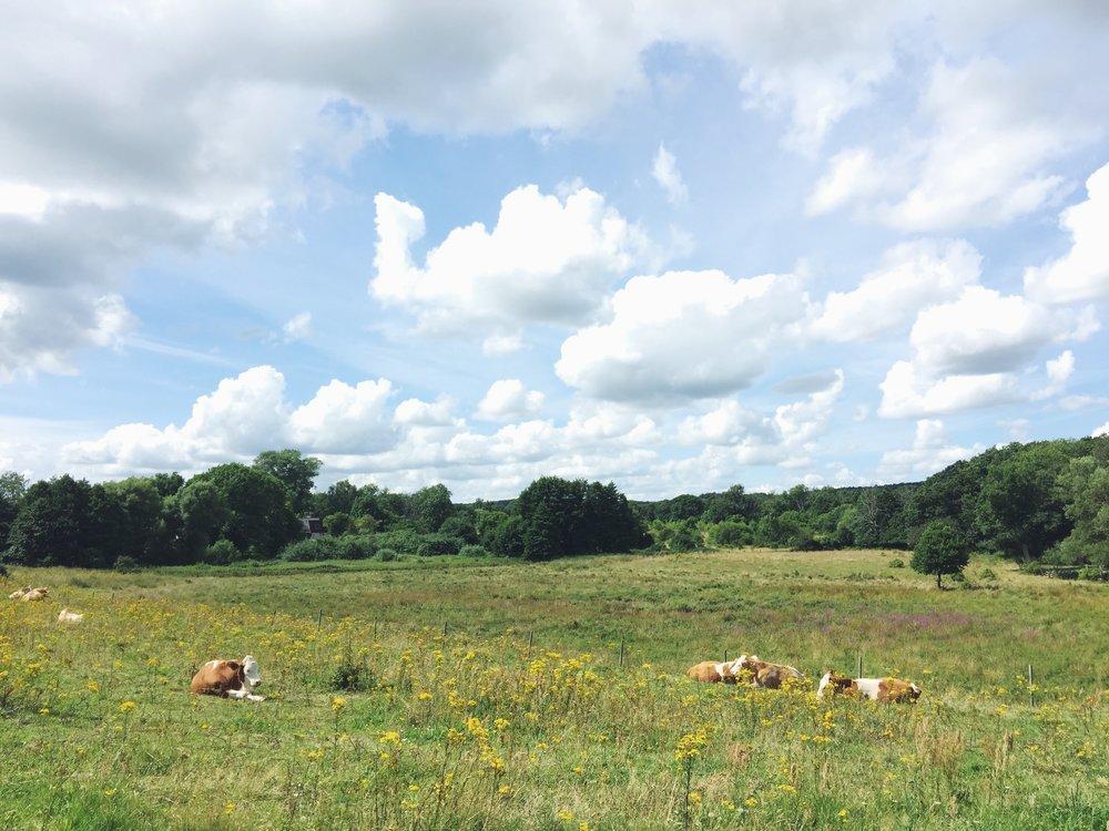Happy cows sunbathing in Verkeåns dalgång