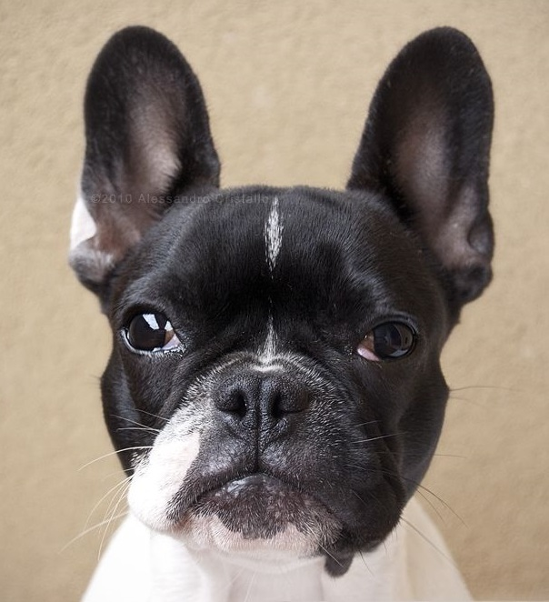 A cute French Bulldog from Wiki Commons