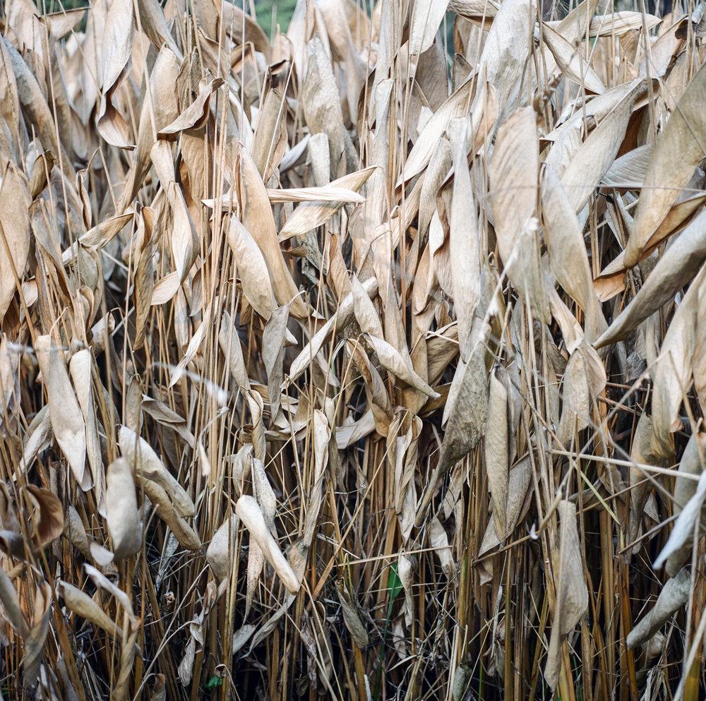 9_dry_reeds-2.jpg
