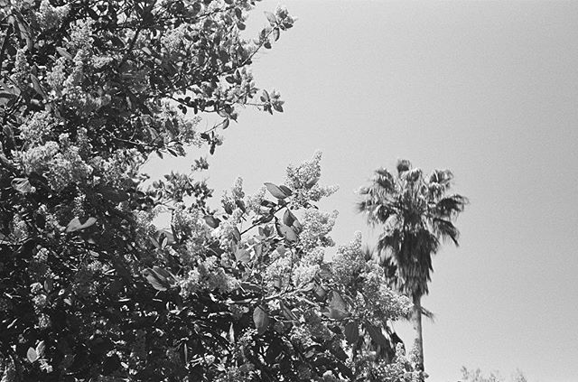 Where did the lilacs stop and the sky begin? This California Lilac, Ceanothus 'Ray Hartman,' was the exact shade of blue as the cloudless sky on that particular day. Perfection. It was only when I got this roll processed, months later, did I remember I had been shooting on black & white...