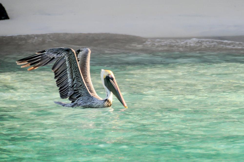 Pelican2JG.jpg
