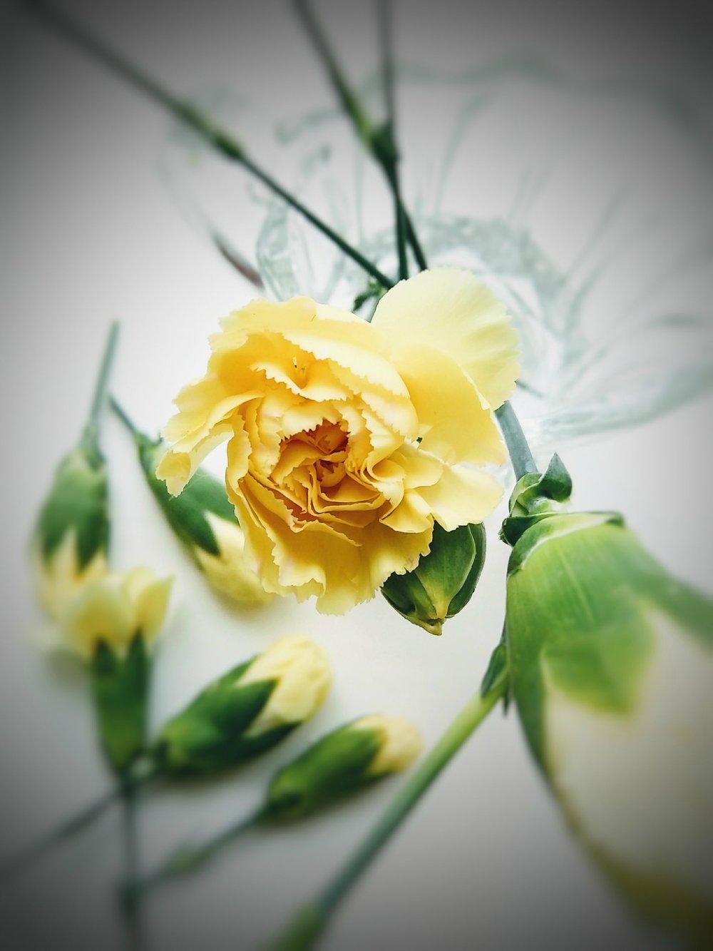Carnation1(1).jpg