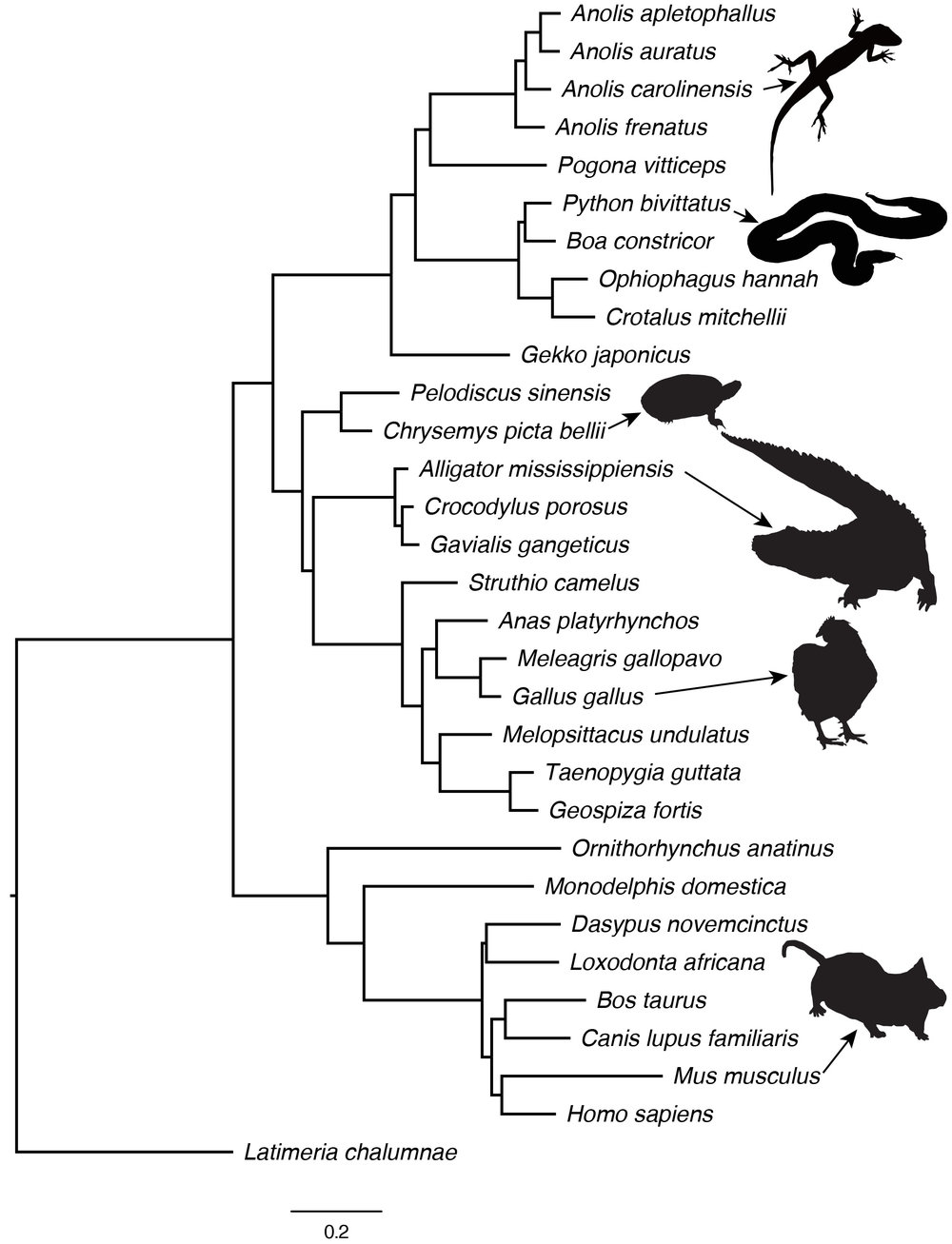 Phylogenomics and the Rate of Evolution - We use genomic markers to reconstruct the evolutionary history of lizards, snakes and other vertebrates in order to understand how rates of molecular evolution are related to rates of phenotypic evolution and speciation.