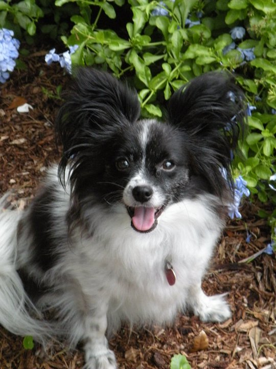 Beasley, Papillon owner surrender