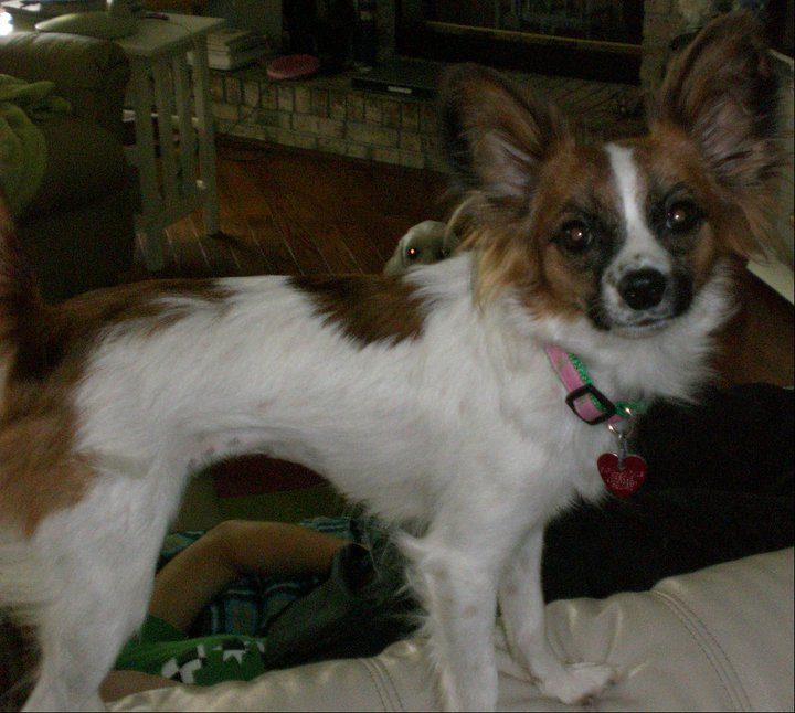 Brandi, Papillon owner surrender