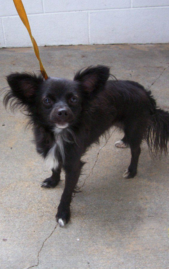 Black Jack, Papillon Mix from kill shelter