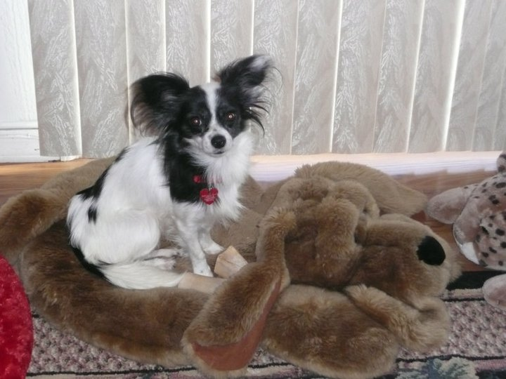 Emily, a Papillon, came to us from a kill shelter.