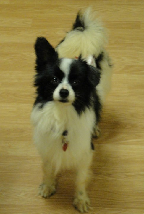 Bosco is a papillon boy that was dropped in an overnight pen at a high kill shelter.