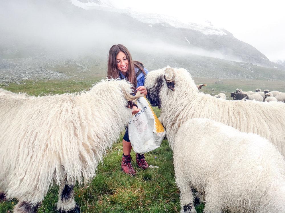 sheepfeeding.jpg
