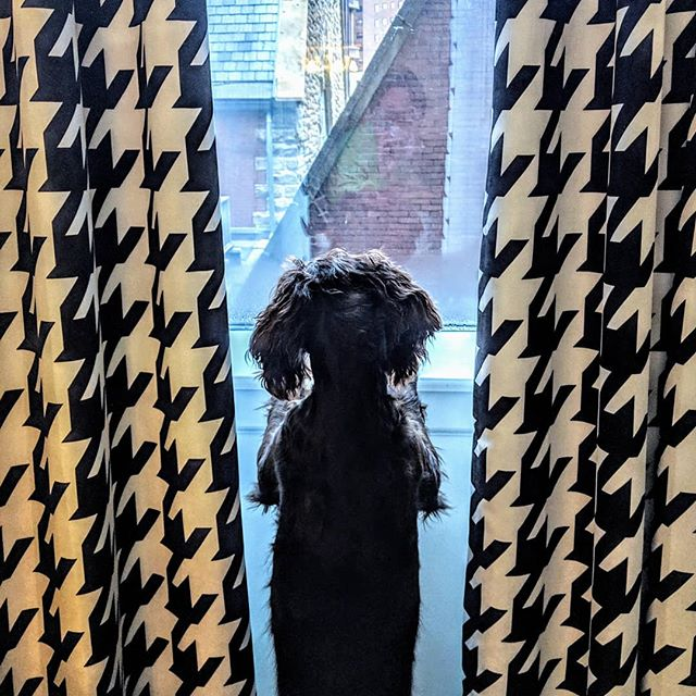 Just hanging out at The Kimpton enjoying the view. . . . . . . . #birddogcoffee #birdseason #birddogsofinsta #boykinspaniels #boykins #smallbusiness #localcoffee #dogs🐶 #dogs #dogsofinstagram#pittsburghsteelers #pittsburgh