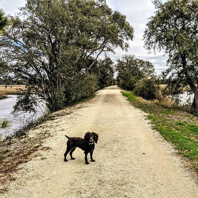 My version of Sunday Funday 🦆🐶☕ . . . . . . . . #birddogcoffee #birddogsofinsta #walking#sundaydogs #sundayfunday #boykinspaniels #rottie#shopsmall #charlestonsc #lowcountry