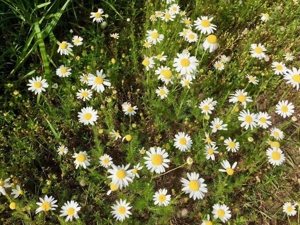 Wild Daisies at Pincushion Mtn parking lot.jpg