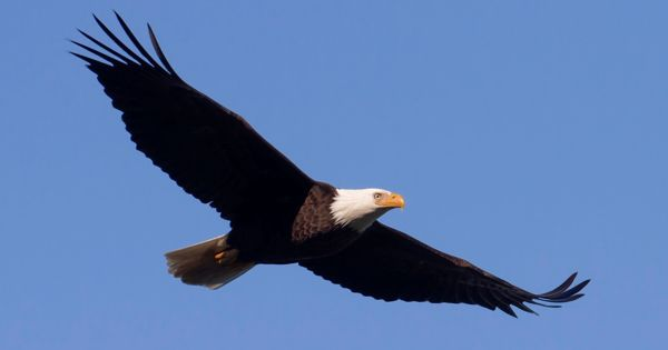 a eagle.jpg
