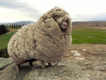 a fat sheep.jpg