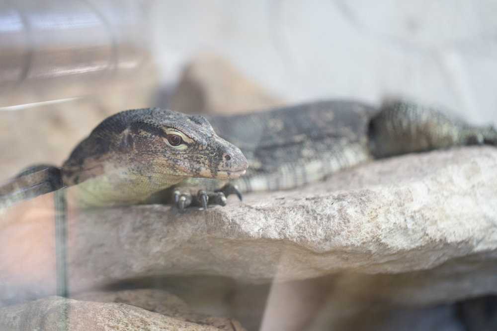 Monitor Lizard from the Secret Sanctuary in Dunstable. Taken without the ULH
