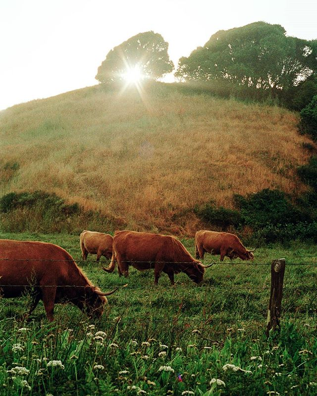 Highland Cattle, Tomales Bay, California, May 2017. The winding drive around the shore of Tomales Bay reveals a new sight around every bend: the bones of old barns, oyster beds skulking in the water like crocodile heads, an owl perched in the boughs of a eucalyptus. This was shot at dusk, meandering the way home from Mendocino after spending the weekend with great friends. Here's to more like this!!! 🥂🌄🐂 #pentaxk1000 #kodakektar100 #35mm #shootfilm #beselective #filmisalive #back2thebase #marincounty #hogisland #highlandcattle #ptreyes @the.marshall.store @hogislandoysterco #mendocinomagic #earthofficial
