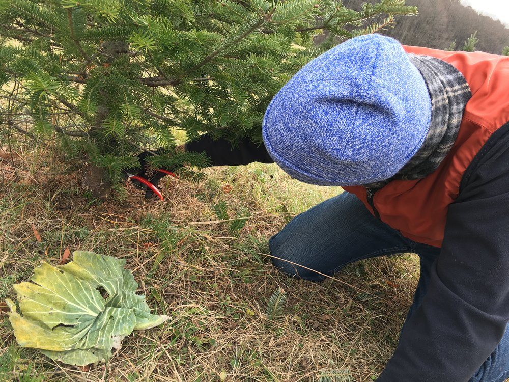 Cutting Down Cabbage.jpg