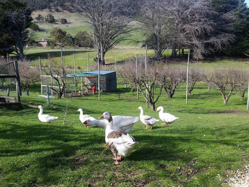 Our family of geese -