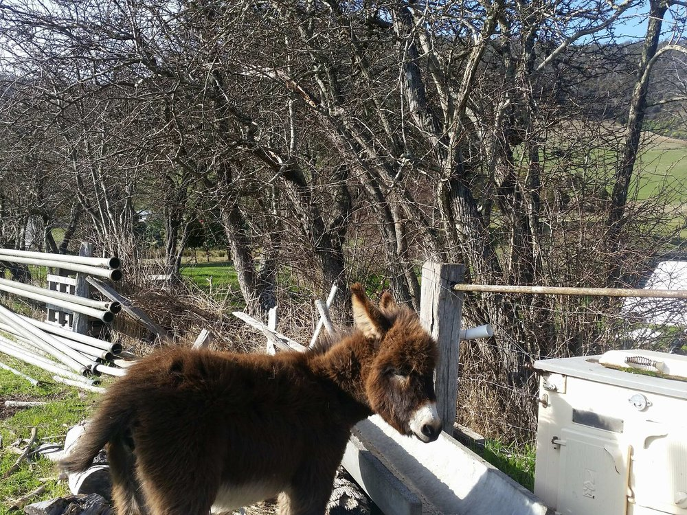 Coco the donkey -