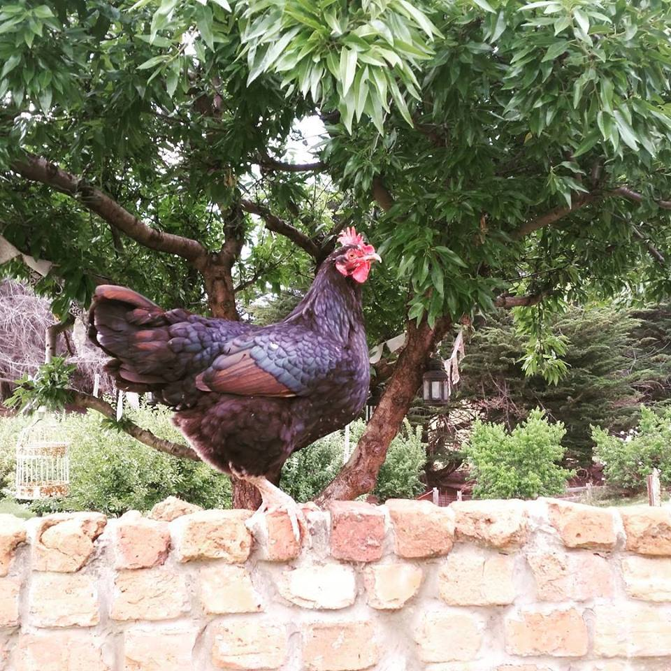 One Eye Chook gets a handful of seed on top of the brick wall morning and afternoon -