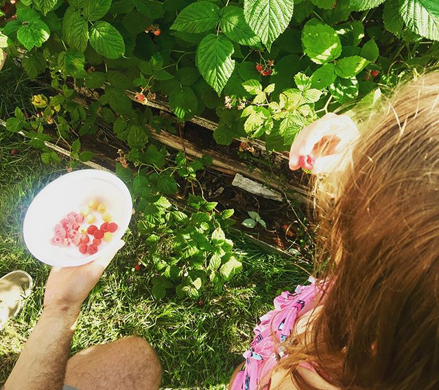 Picking raspberries in the sun! Fine motor skills, healthy snacking, and sharing with friends! 🌱 ☀️ ☀️ ☀️ #teachersfollowteachers #teachersofinstagram #forestschool #handsonlearning #fruitbasket #finemotirskills #outdooreducation