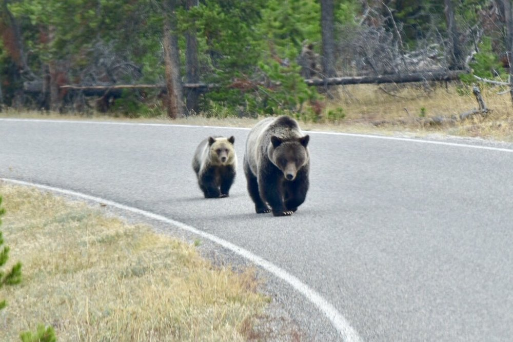 Mama and baby Grizzly - Yellowstone