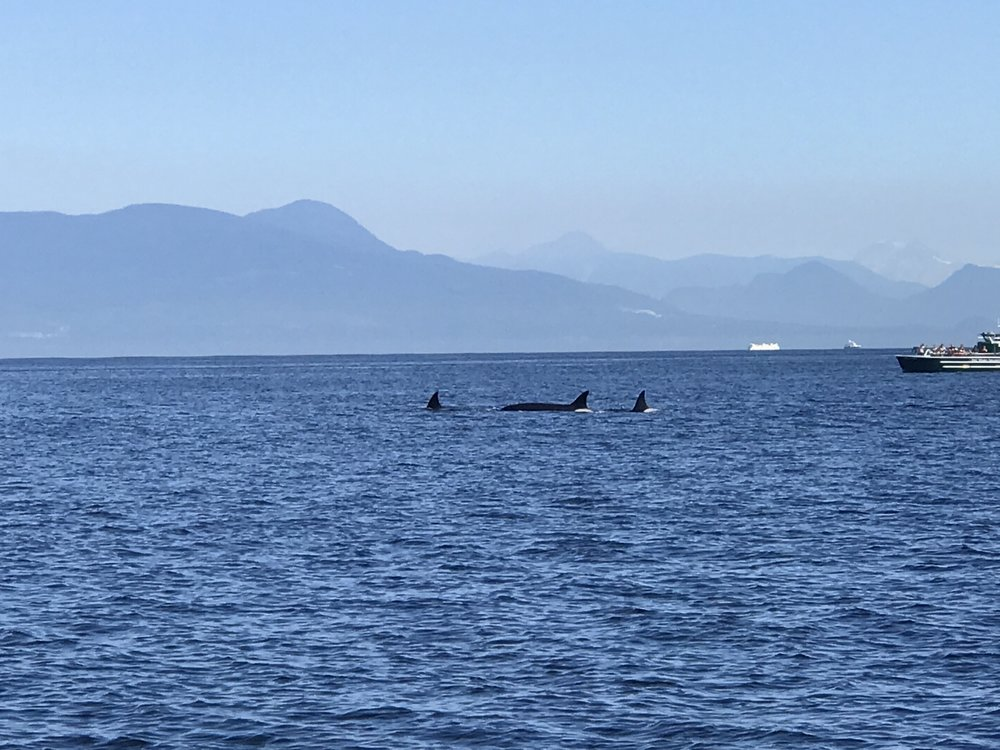 Whales in Vancouver, 2017