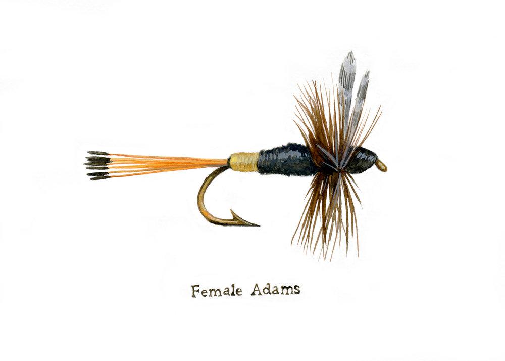 Female Adams