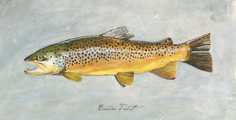 Brown Trout 1-up.jpg