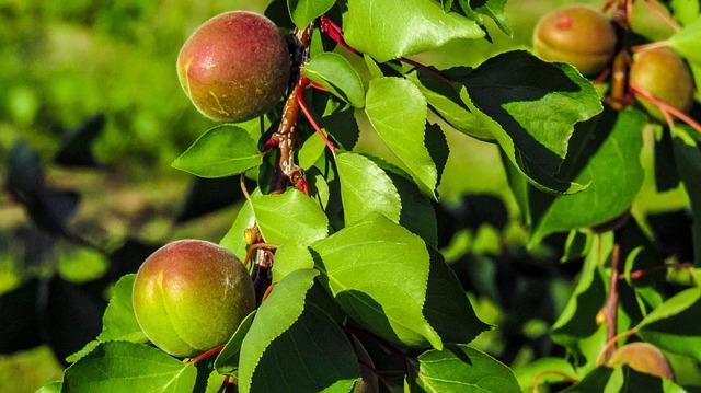 peaches-3428026_640.jpg