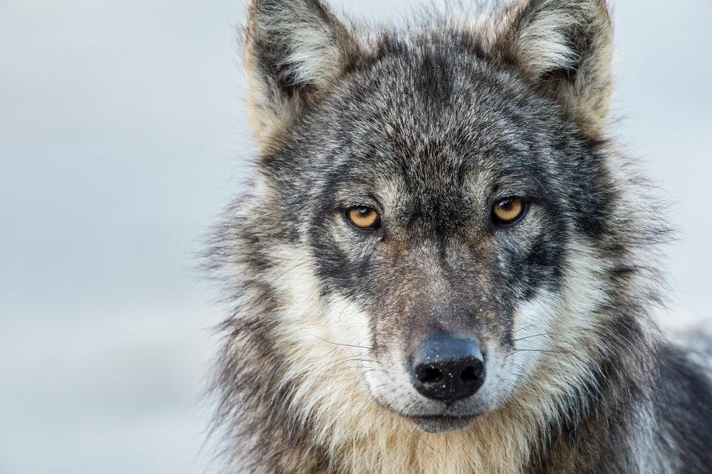 GBR_18_WolfProfile.jpg