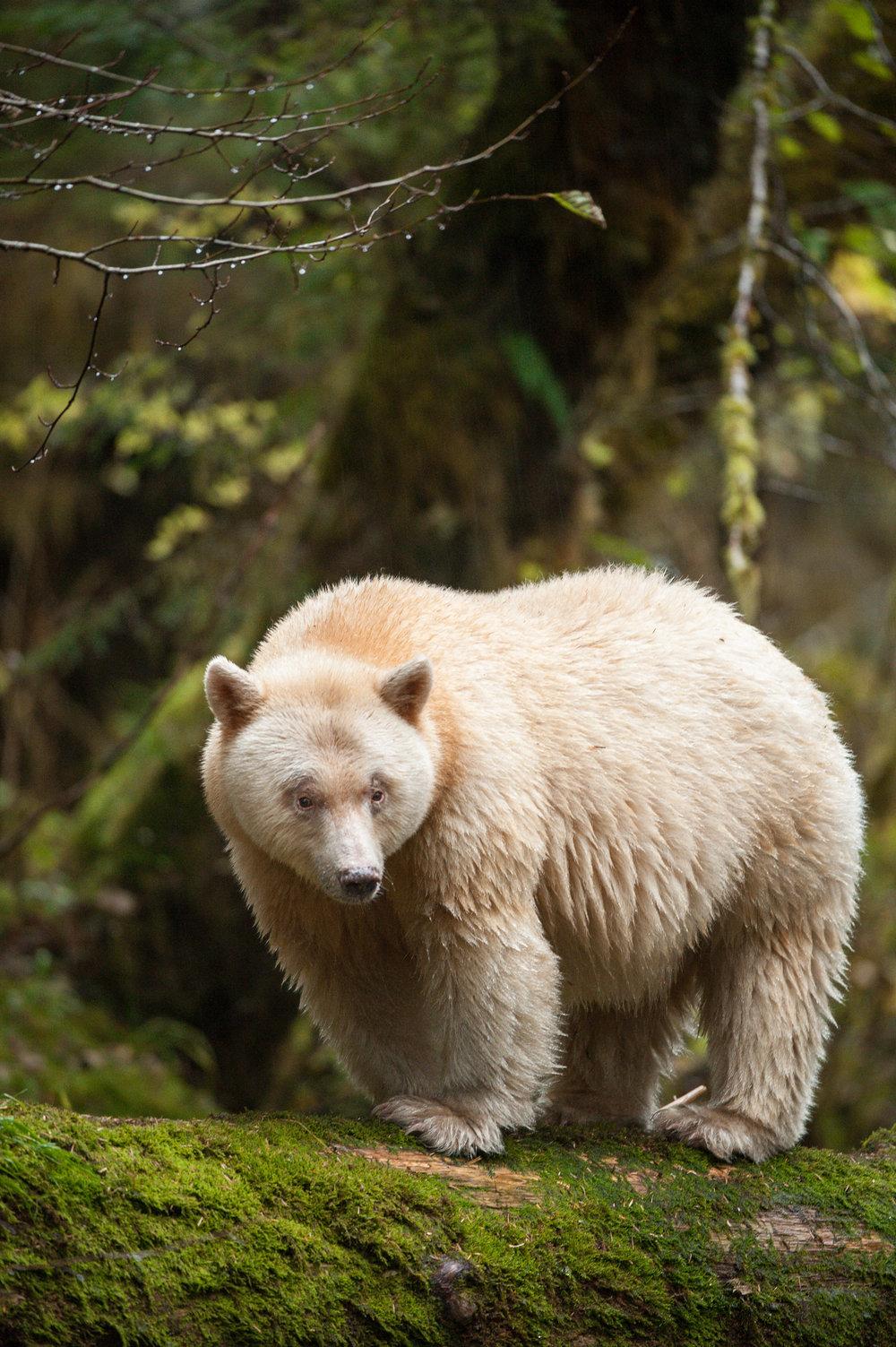 A Spirit Bear