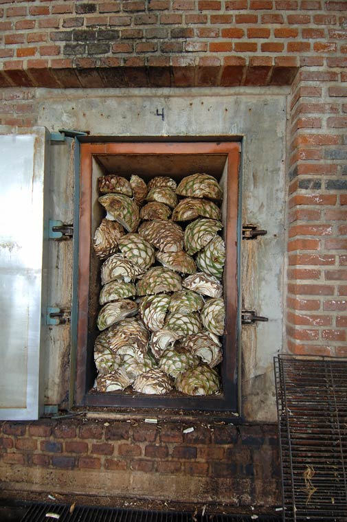 Agave's being steamed in above ground ovens to produce tequila