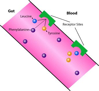 - На первом этапе работы таблеток НеоФе усовершенствованная формула LNAA, где высокое содержание тирозина и лейцина создает конкуренцию с молекулами фенилаланина во время переваривания пищи в желудочно-кишечном тракте. Тирозин и лейцин всасываются в кровь, а молекулы фенилаланина остаются в желудке и выходят из организма естественным путем. Благодаря этому концентрации ФА в крови снижается.Это доказано клинически.