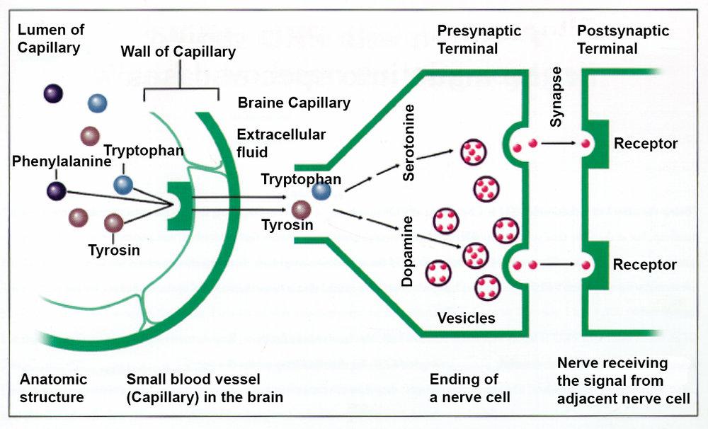 - После первого этапа срабатывает защита мозга как у таблеток ПреКУнил, когда высокое содержание тирозина и триптофана создает конкуренцию за белок-носитель с молекулами фенилаланина во время пересечения гомоенцефаличного барьера. Тирозин и триптофан проходят в мозг, а фенилаланин остается снаружи. В результате, отсутствие ФА в мозге обеспечивает нормальную нейропсихологических работу мозга.Это доказано клинически.