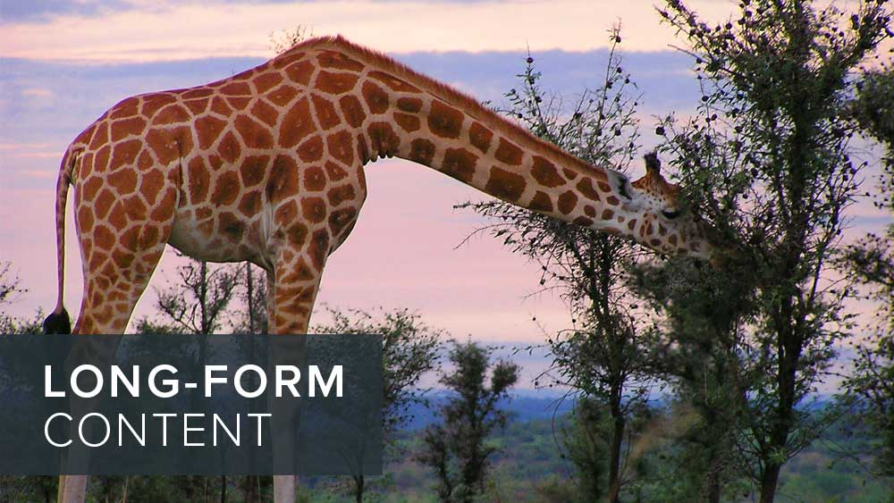 'long-form+content'+over+image+of+a+giraffe.jpg