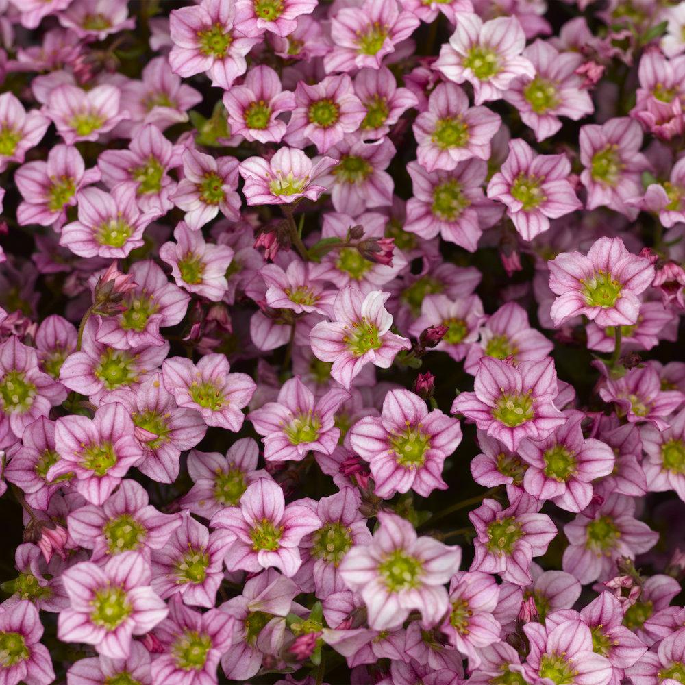 HR_Vegetative_Saxifraga_Alpino_Early™_Alpino_Early™_Pink_70020836_3.jpg