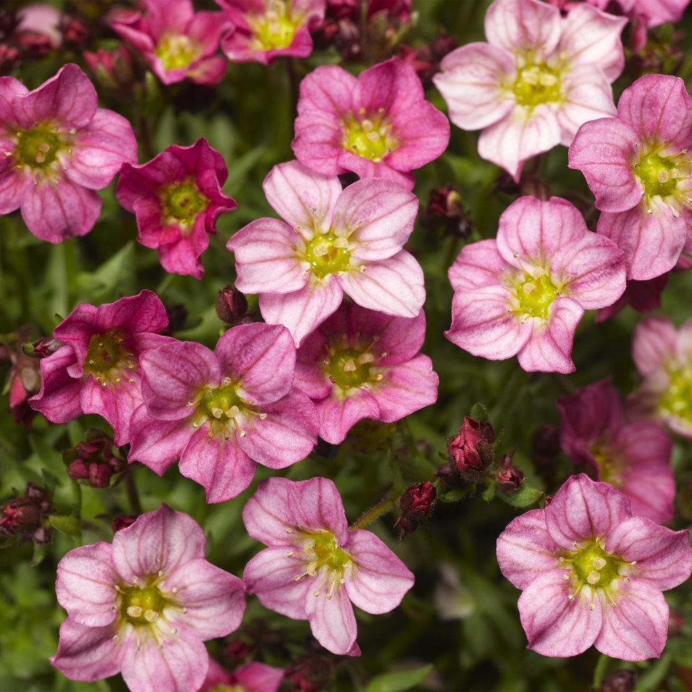 HR_Vegetative_Saxifraga_Alpino_Early™_Alpino_Early™_Pink_70020836_2.jpg