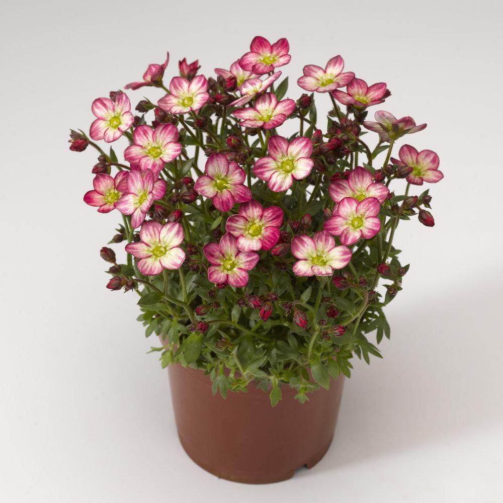 HR_Vegetative_Saxifraga_Alpino_Early™_Alpino_Early™_Picotee_70020842_2.jpg