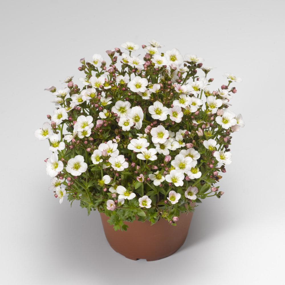 HR_Vegetative_Saxifraga_Alpino_Early™_Alpino_Early™_White_70020829_2.jpg