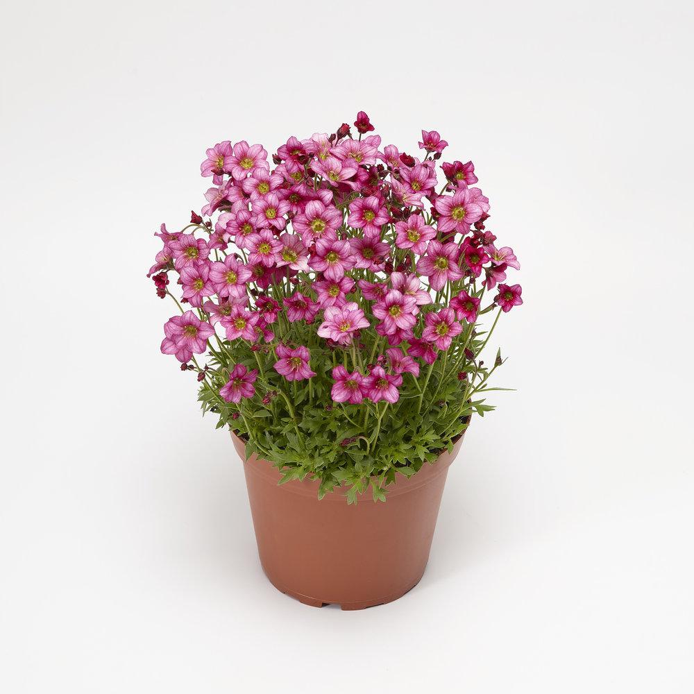 HR_Vegetative_Saxifraga_Alpino_Early™_Alpino™_Early_Rose_70064269_1.jpg