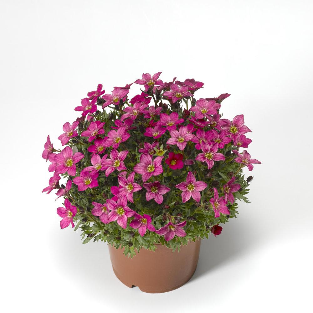 HR_Vegetative_Saxifraga_Alpino_Early™_Alpino_Early™_Carnival_70052221_1.jpg